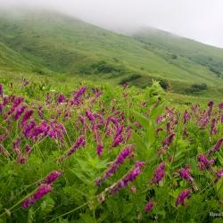 Кавказский заповедник, цветение алписких лугов.