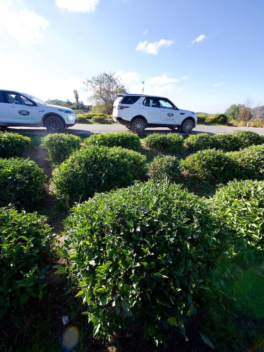 Самые северные в мире плантации чая