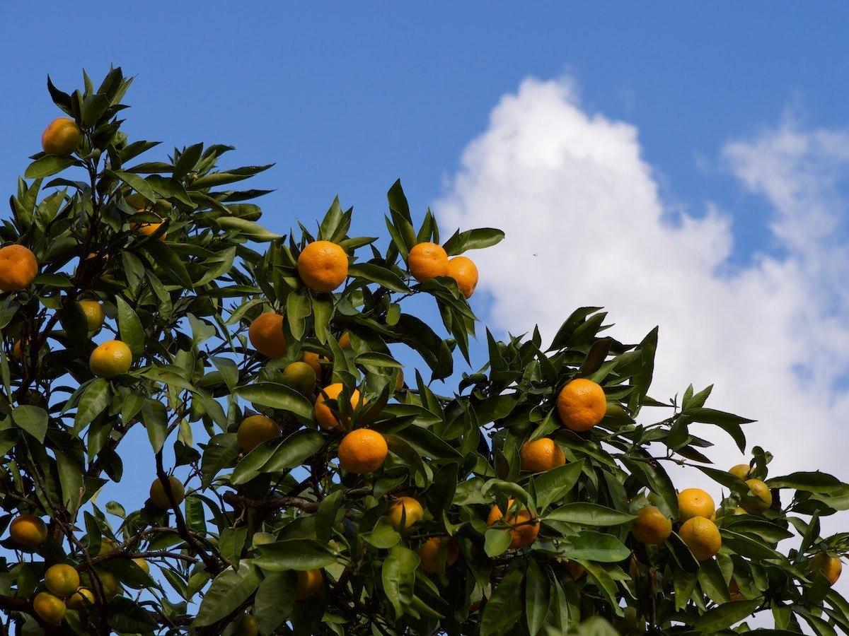 Цитрусовый сад в Абхазии