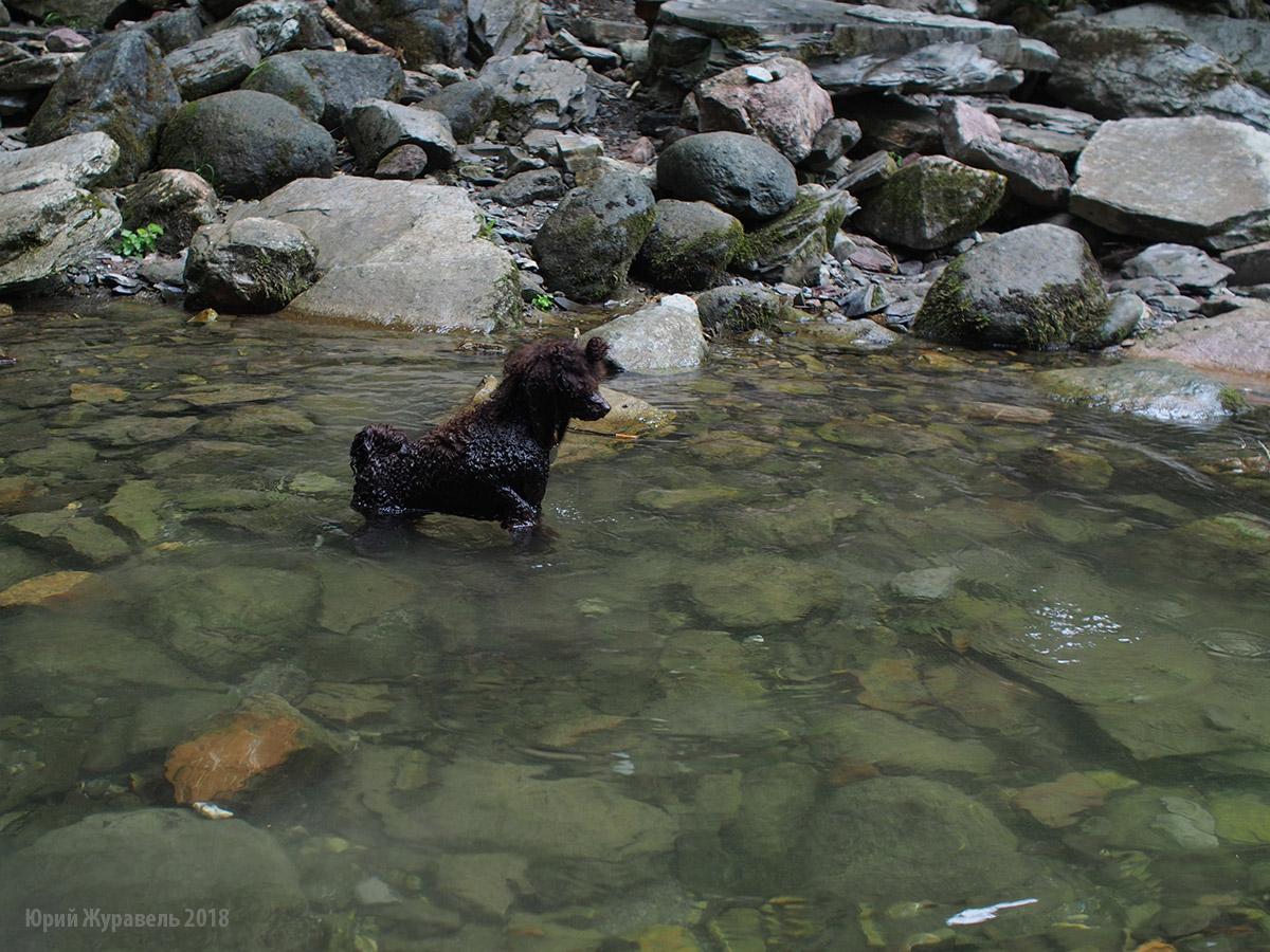 Пудель в реке Ажек